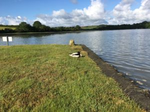 Ducks on the River Fal